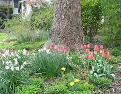 Tulipsdaffs400