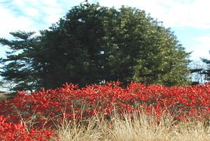 Winterberryarb300
