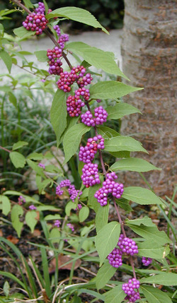 Beautyberry3