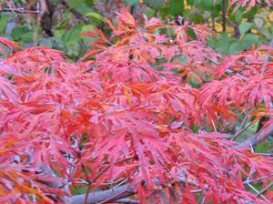 Takoma Gardener Acer Japonicum Green Cascade
