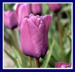 Tulipblueaimable2