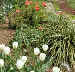 Tulipswrong1_2