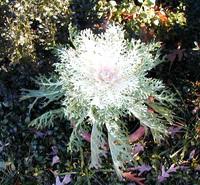 Whitecabbage_1